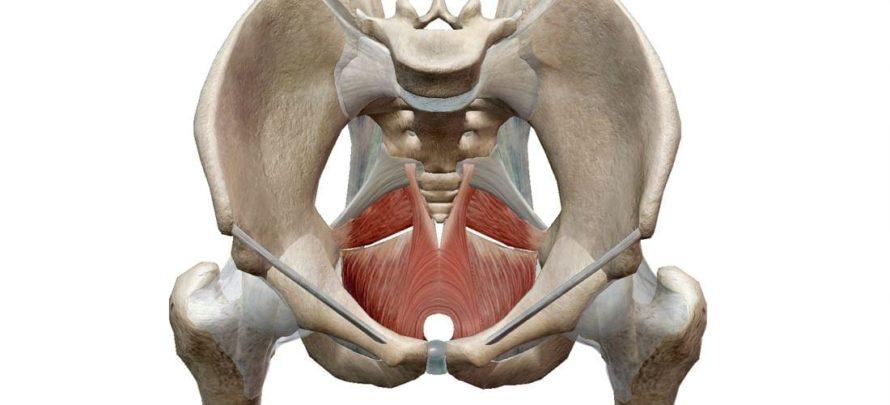 pelvic floor musculature
