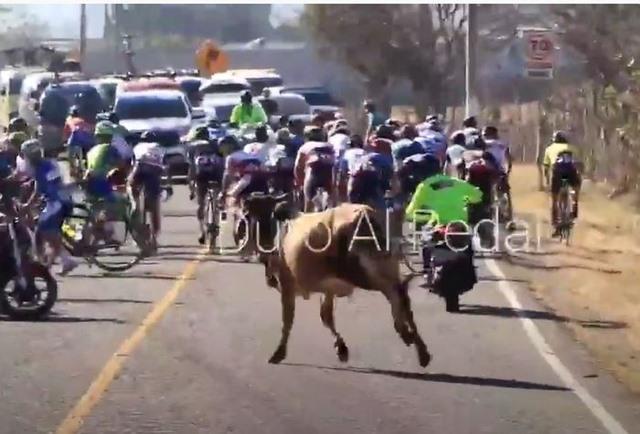 Toro arramete contra peloton ciclista